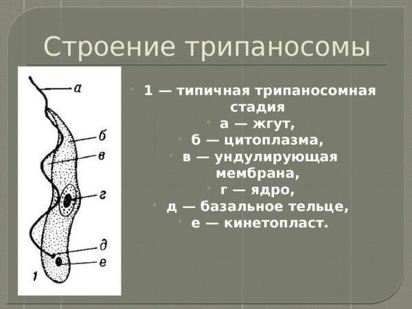 Строение трипаносомы