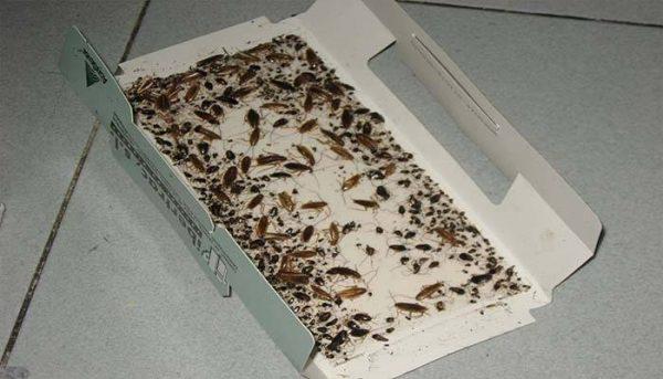 Липкая ловушка с тараканами