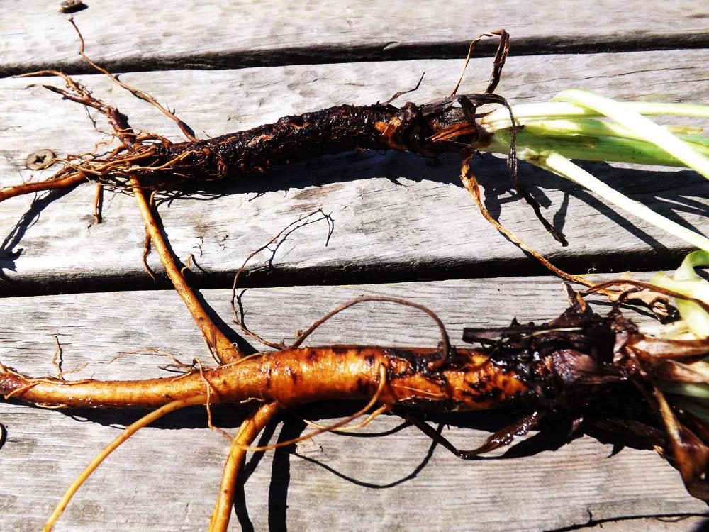 фото чертов корень основу понадобится только