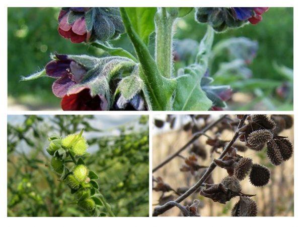 Цветы и плоды чернокорня