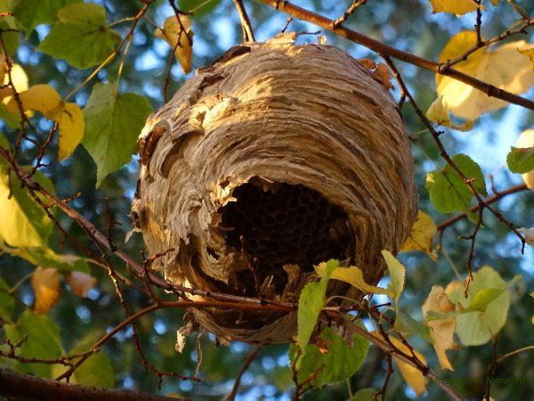 гнездо шершня