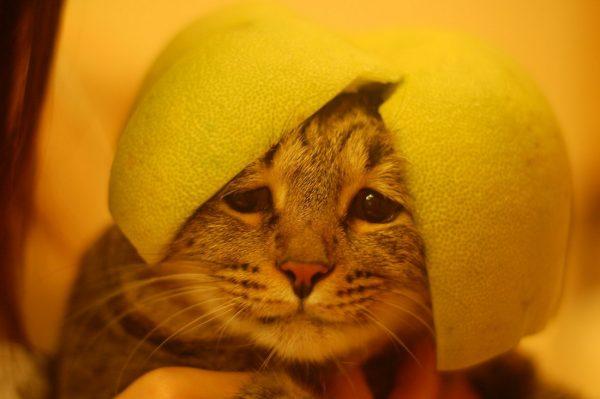 Кот со шкуркой помело на голове