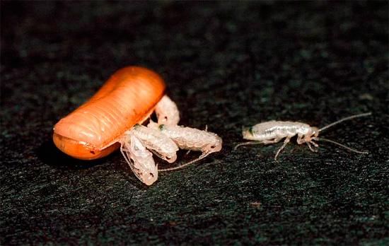 Оотека и личинки