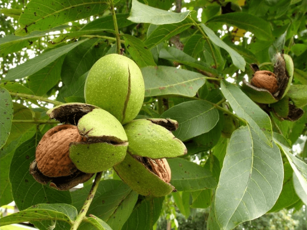 Плоды грецкого орех