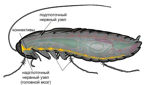 Таракан, нервная система