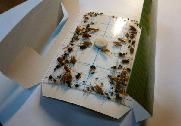Клеевая ловушка с приманкой и тараканами
