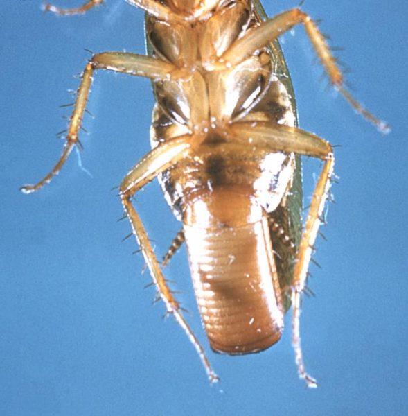 Самка рыжего таракана