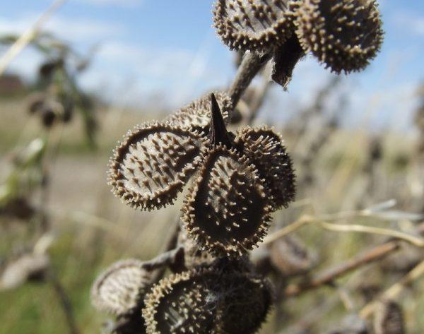 Семена чернокорня лекарственного