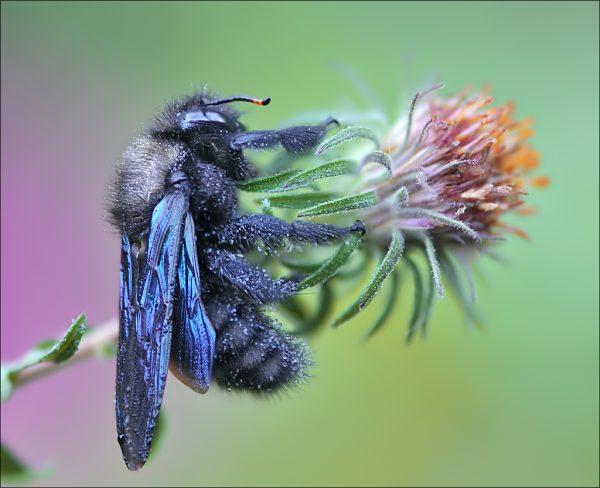 синий или крымский шершень
