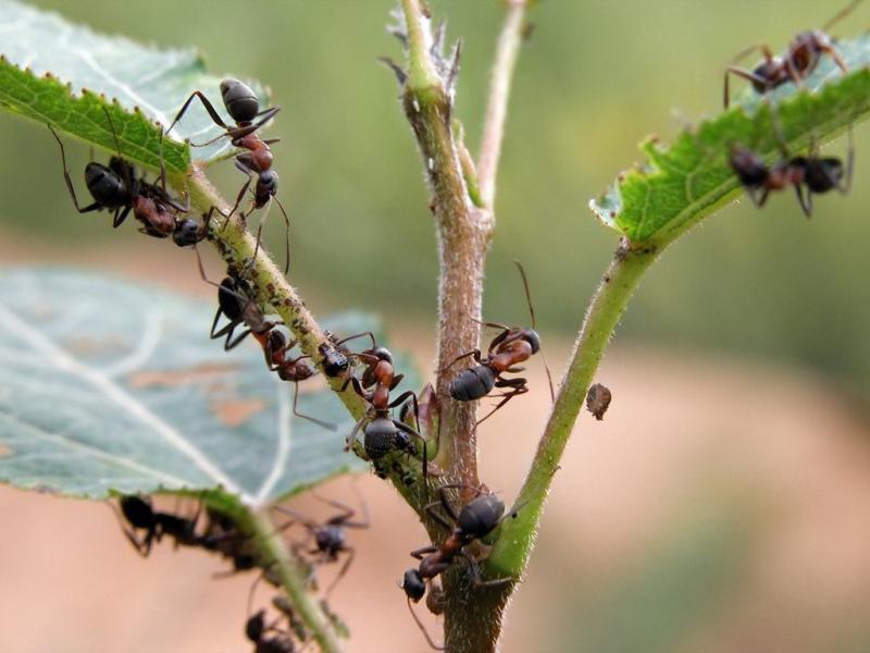 Как избавиться от муравьёв и тли на смородине