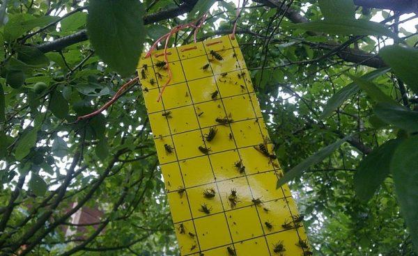 Ловушка для вишнёвой мухи