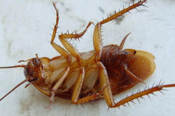 Таракан кверху брюшком