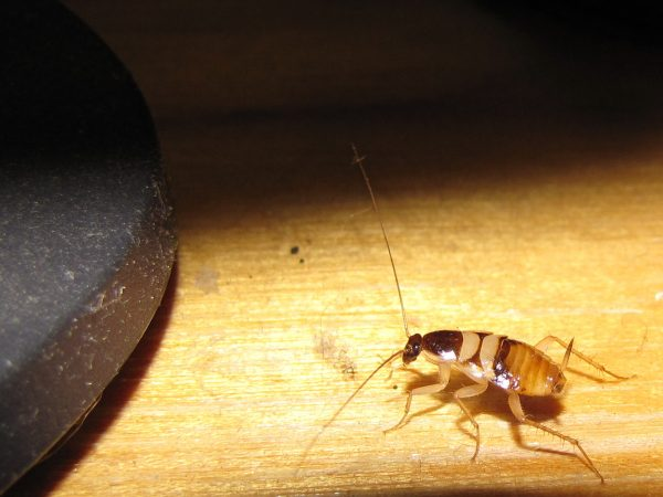 Коричневополосый таракан