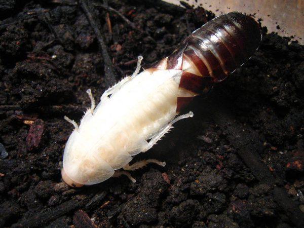 Белый таракан