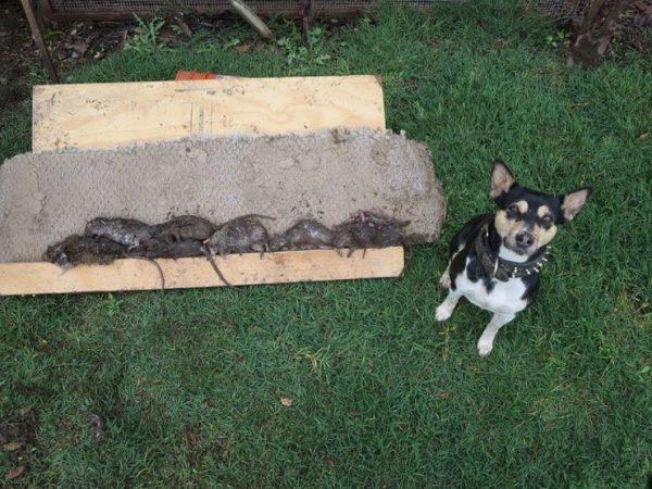 Собака и мёртвые крысы