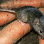 Крыса и морковь