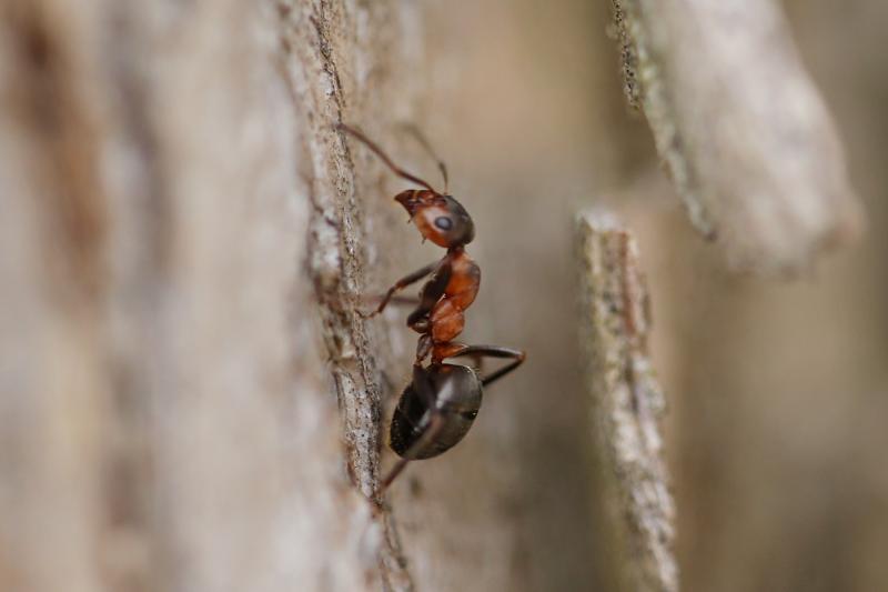 Рыжие (красные) лесные муравьи в доме и на участке