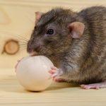 Крыса с яйцом