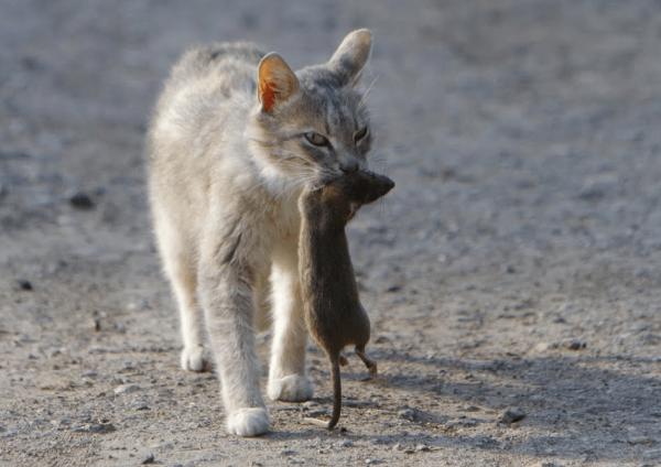 Кошка с крысой