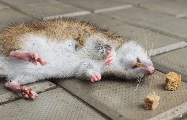 Мёртвая крыса