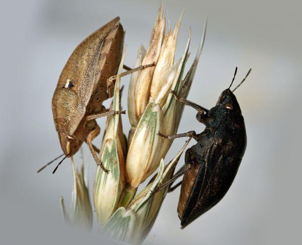 Два клопа вредная черепашка и пшеница