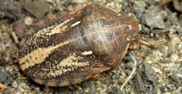 Клоп-черепашка