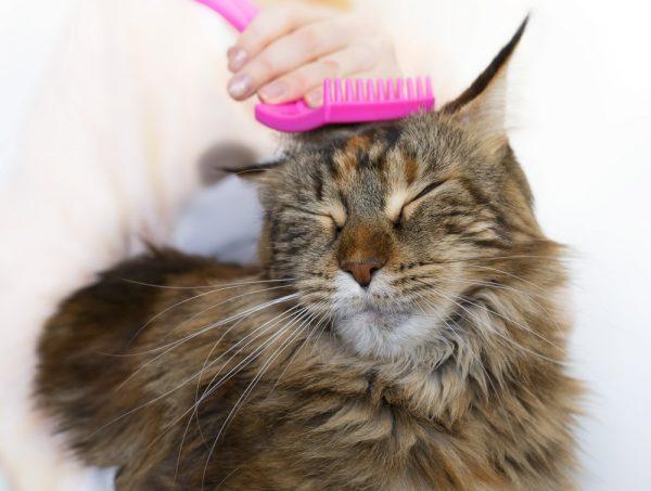 Вычёсывание блох у кота