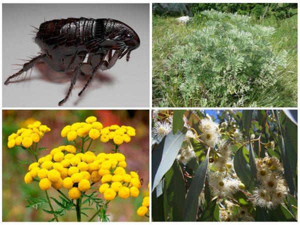 Травы от земляных блох: пижма, полынь, эвкалипт