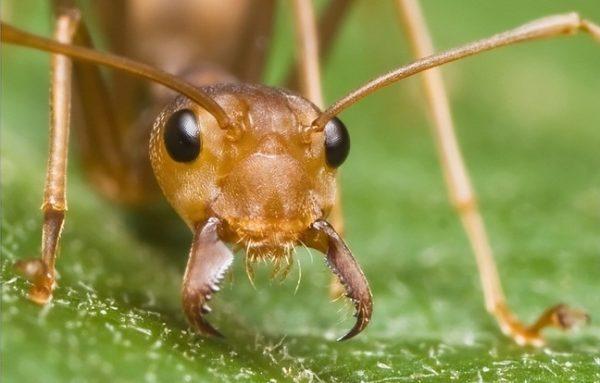 Ротовой аппарат рыжего муравья