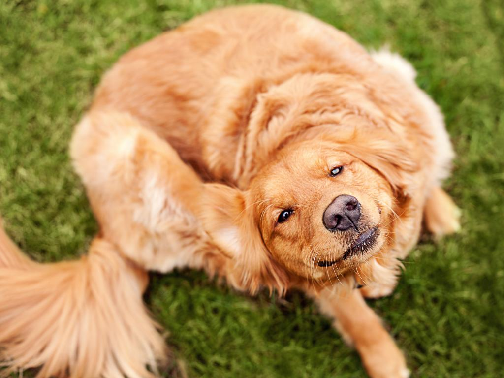 Клещи у собак