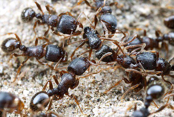 Дерновый муравей
