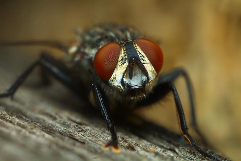 Комнатная муха — какую опасность представляет и как бороться с вредителем