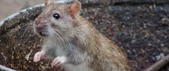 Дикая крыса