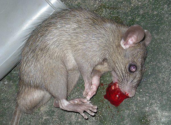 Труп крысы
