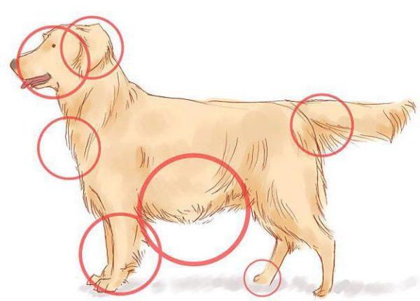 Рисунок с отметками мест, в которых клещи кусают собак чаще всего