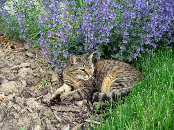 Котовник в открытом грунте, кот, лежащий рядом с ним