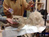 Вычёсывание кота фурминатором