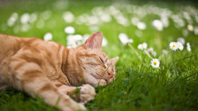Рыжий кот в ромашках