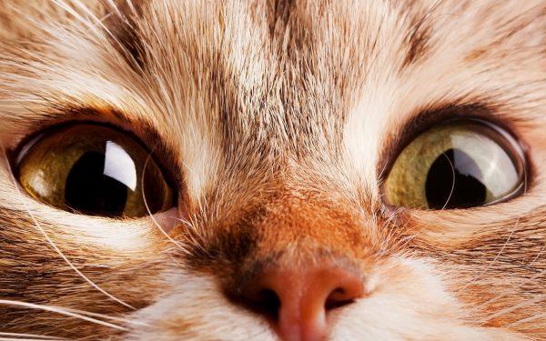 Озорной взгляд рыжей кошечки