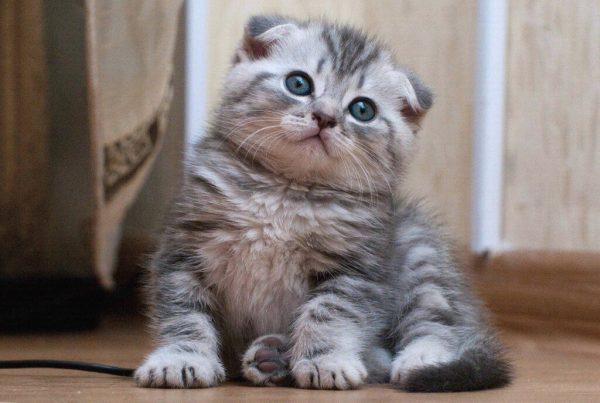 Маленький полосатый шотландец