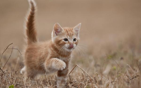 Рыжий котёнок шагает по сухой траве