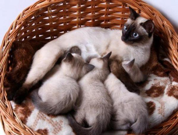 Сиамская кошка с котятами лежит в корзинке