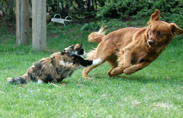 Кошка нападает на собаку