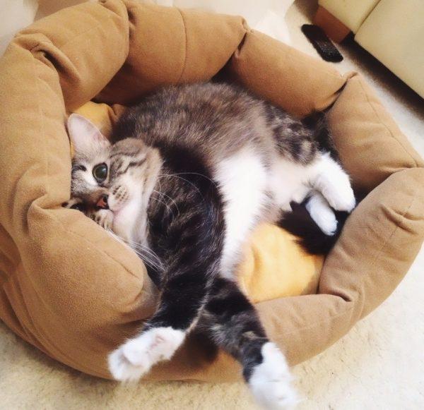 Кошка в лежанке