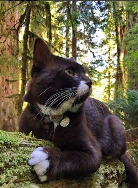Кот-путешественник Бёрма