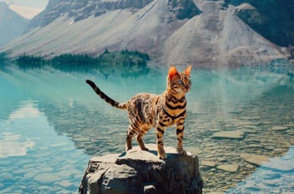 Кошка Сьюки стоит на камне у озера