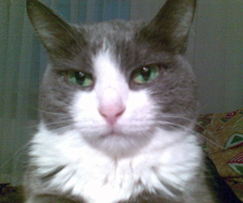 Кошка Дымка в помещении