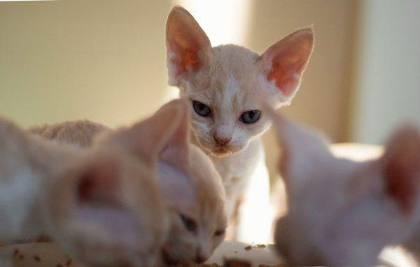 Котёнок сфинкса