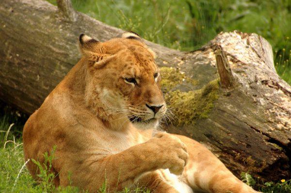 Тигуар отдыхает