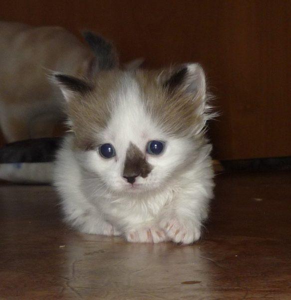 Котёнок породы манчкин